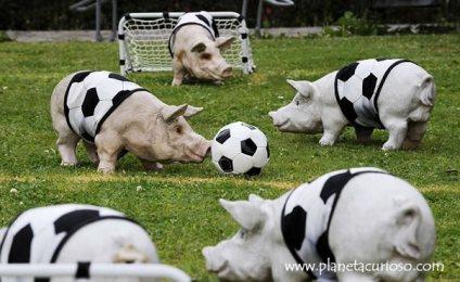cerdos-futbol